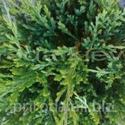 Можжевельник горизонтальный Juniper horizontalis Prince of Wales 35 - 45 см фото