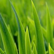 Отдушка зеленая трава фото