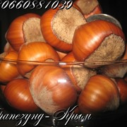 Плоды крупноплодного фундука Трапезунд в скорлупе фото