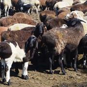 Чистокровные овцы едельбаевской и гисcарской породы. фото