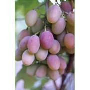 Саженцы винограда Радуга фото