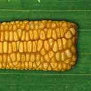 Семена гибрида кукурузы ДМС Сектор (ФАО 330) от компании МАИС фото
