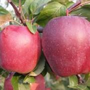 Саженцы яблонь Глостер, Украина, купить, цена. фото