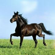 Лошадь темного окраса фото
