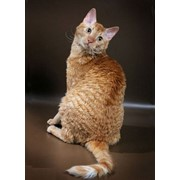 Питомник редкой породы кошек уральский рекс фото