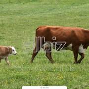 Племенной молодняк бычков казахской белоголовой и герефордской породы фото
