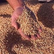 Хранение, сушка пшеницы фото