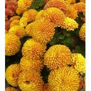 Семена хризантемы Kateli фото