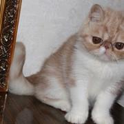 Экзотический кот фото