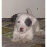 Алиментный щенок джек рассел терьера фото