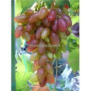 Саженцы винограда (сорт Оригинал) фото