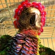 Птенцы - выкормыши Веерного попугая фото