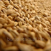 Пшеница на экспорт из Молдовы фото