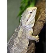 Бородатая агама (Trapelus sanguinolenta - степная) фото