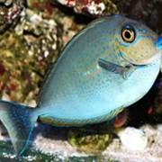 Рыба Хирург Носорог Вламинга Naso vlamingi фото