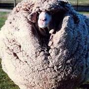 Овчина фото