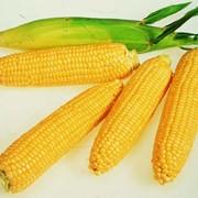 Семена кукурузы сахарной фото