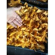 Принимаем заказы на заготовку грибов лисичку и сморчок. фото