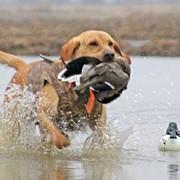 Собаки охотничьи фото