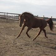 Лошади фризской породы ZAALA фото