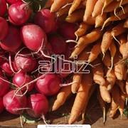Корнеплоды столовые фото