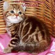 Британские котята вискас фото