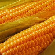 Porumb (Кукуруза) фото