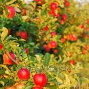 Обрезка плодовых деревьев, Одесса. фото