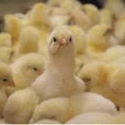 Суточный молодняк мясо-яичных цыплят фото