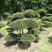 Бонсай Pinus mugo Bonsai фото