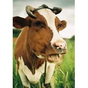 Уход и содержание коров фото