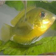 Рыба аквариумная Пятнистый этроплюс - Etroplus maculatus Bloch фото
