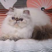 ГИМАЛАЙСКИЕ ПЕРСИДСКИЕ котята фото