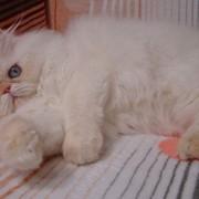 Персидская голубоглазая красавица фото