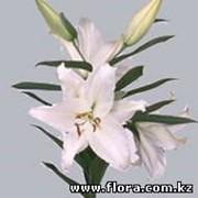 Лилии Or Crystal Blanca фото