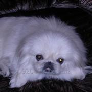 Вязка собак породы пекинес фото