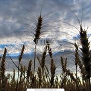 Кондиционирование семян сельхоз культур, Семеноводство сельскохозяйственных культур.