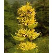 Корень горечавки желтой (тирлич жовта) фото