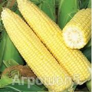 Семена кукурузы сахарной Синьет F1. 5000 семян. Seminis. Суперсладкая раннеспелая для свежего рынка и переработки фото
