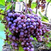 Саженцы винограда Кишмиш запорожский фото