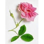 Масло розовое эфирное фото