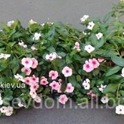Сезонное озеленение однолетними растениями фото