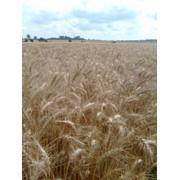Семена озимой пшеницы - Наталка, Полеская 90, Лесная песня, Аналог.