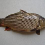 Живая ставковая рыба фото