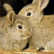 Кролики, крольчата и кролематки Новозеландской и Калифорнийской пород фото