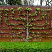Услуга формирования крон деревьев фото
