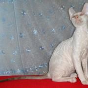 Кошечки породы корниш рекс, из питомника в Краснодаре (Россия) фото