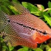Рыбка Гурами Жемчужный фото