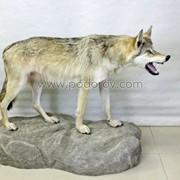 Чучело волка фото