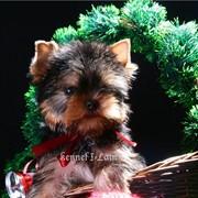 Красивые щенки йорка, бейби фейс. фото
